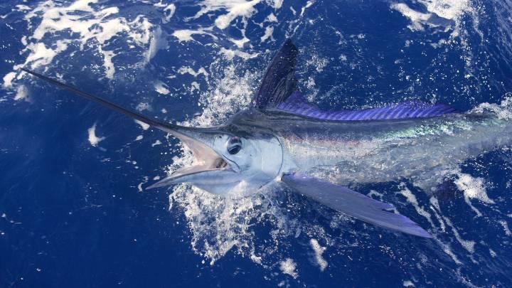 swordfish shark attack