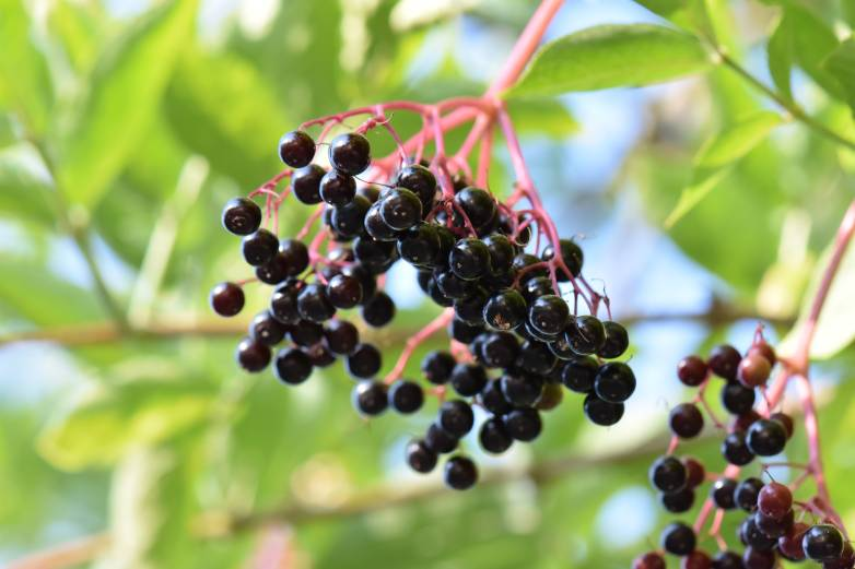 berry recall