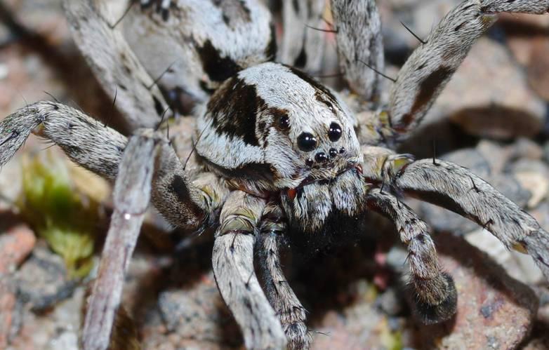 extinct spider