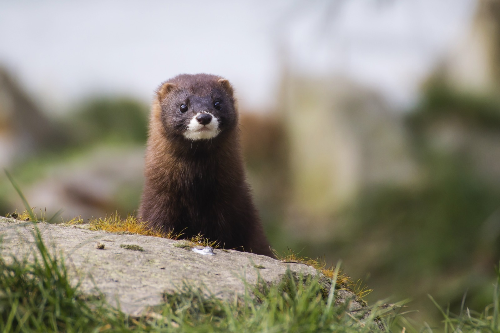 More US mink farms report cases of coronavirus infection