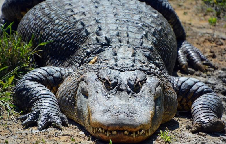 alligators regrow tails