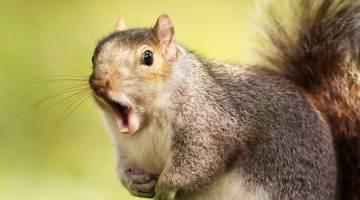 squirrel attacks