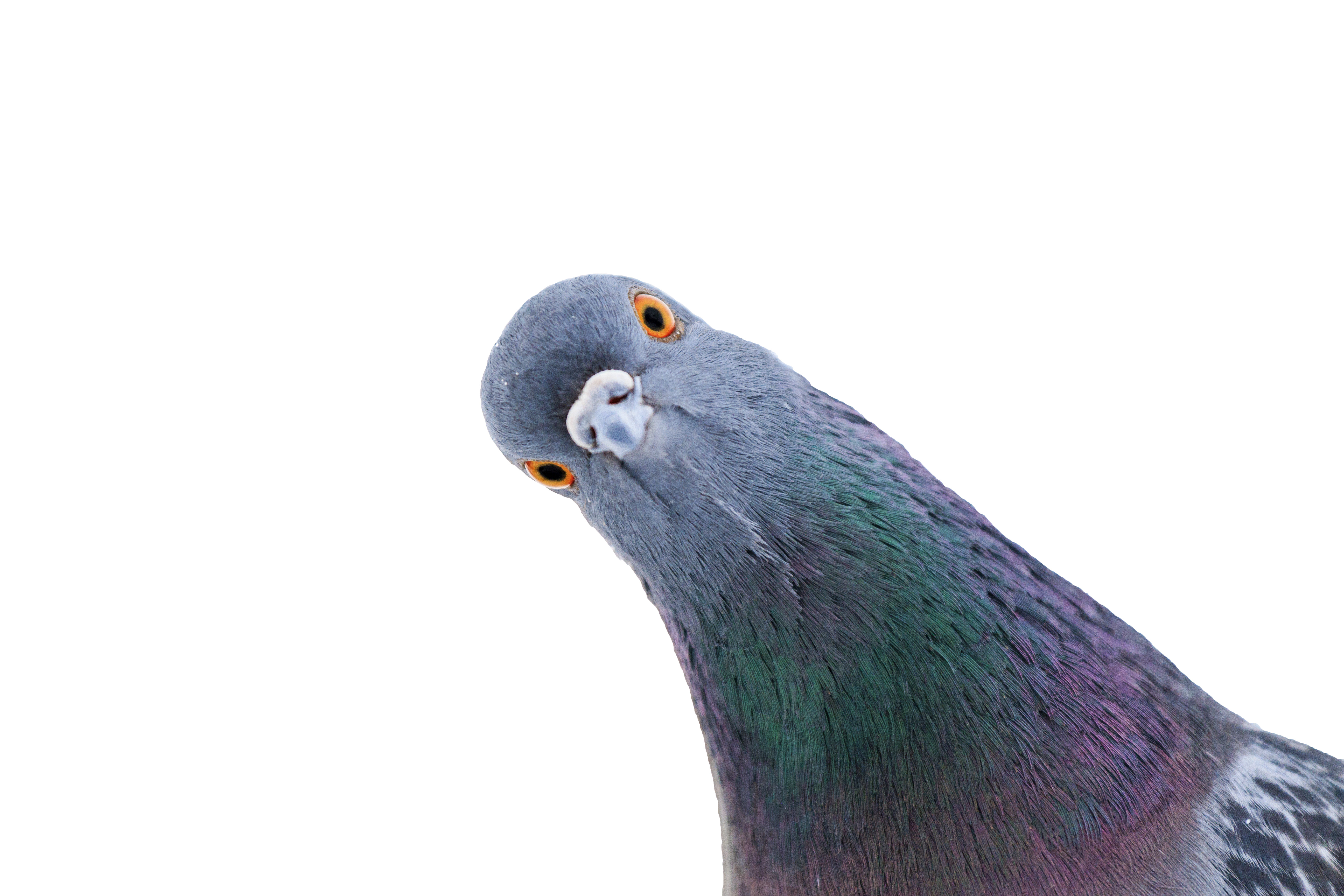 This COVID pigeon story from Australia is proof people have lost their minds