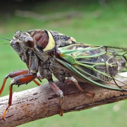 cicada boom