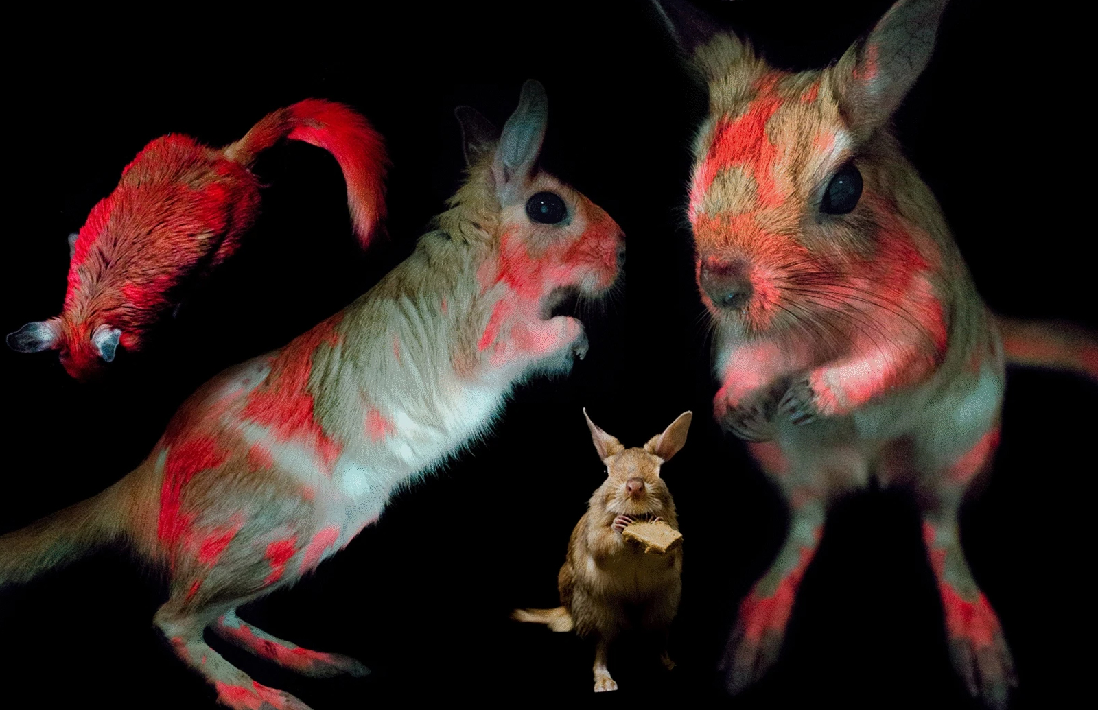 <p>These Extraordinary rodents change color under UV light thumbnail