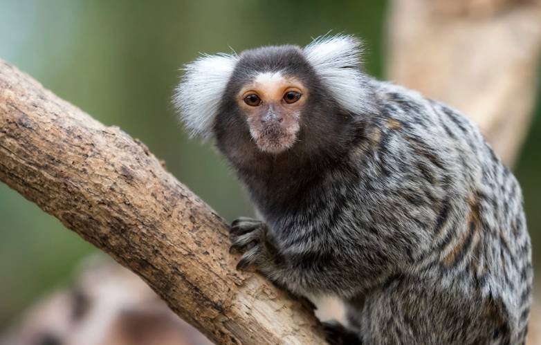 monkey gossip