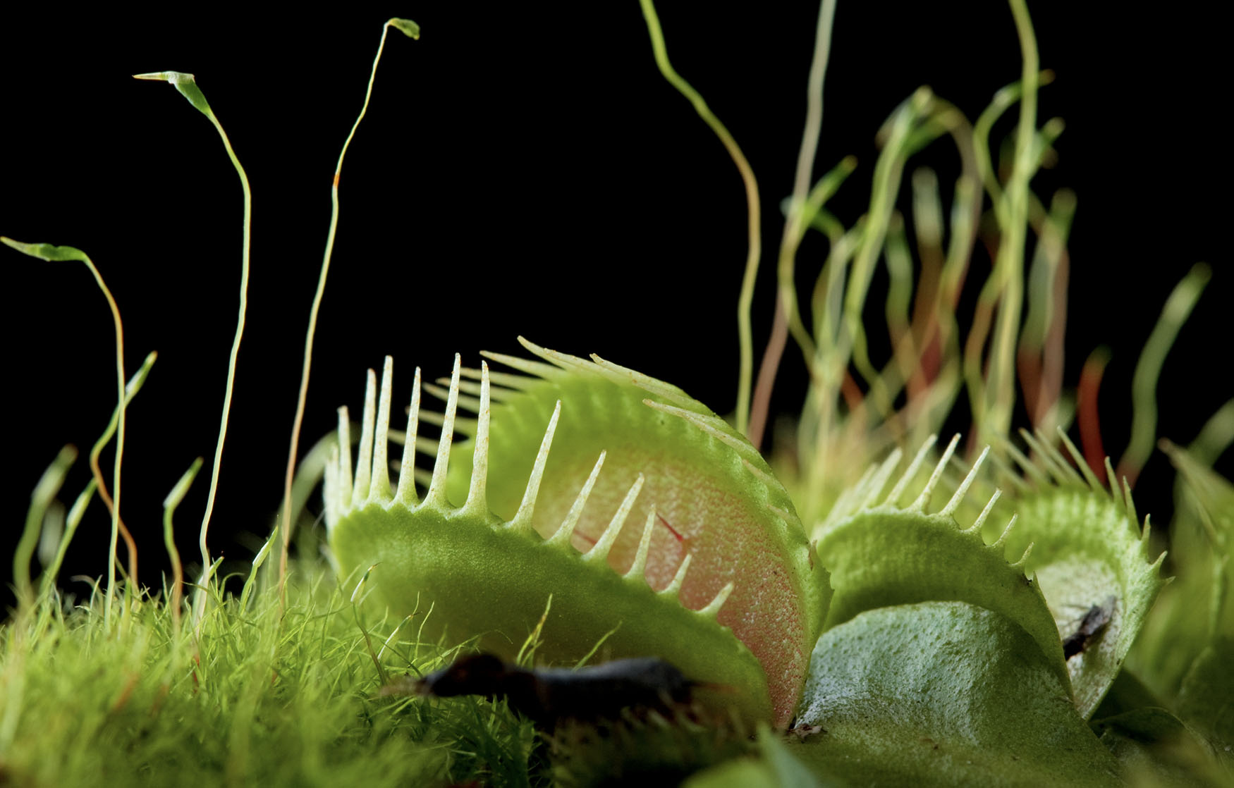 <p>Venus flytraps are crazier than we thought thumbnail