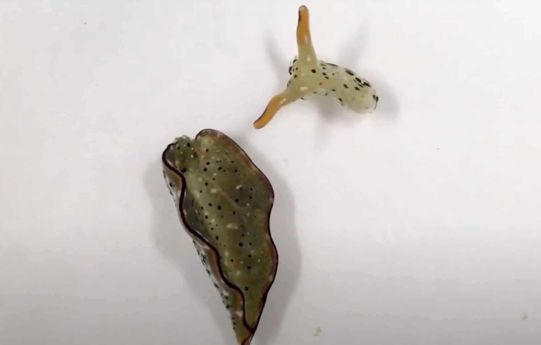 Watch a sea slug sever its own head… and survive