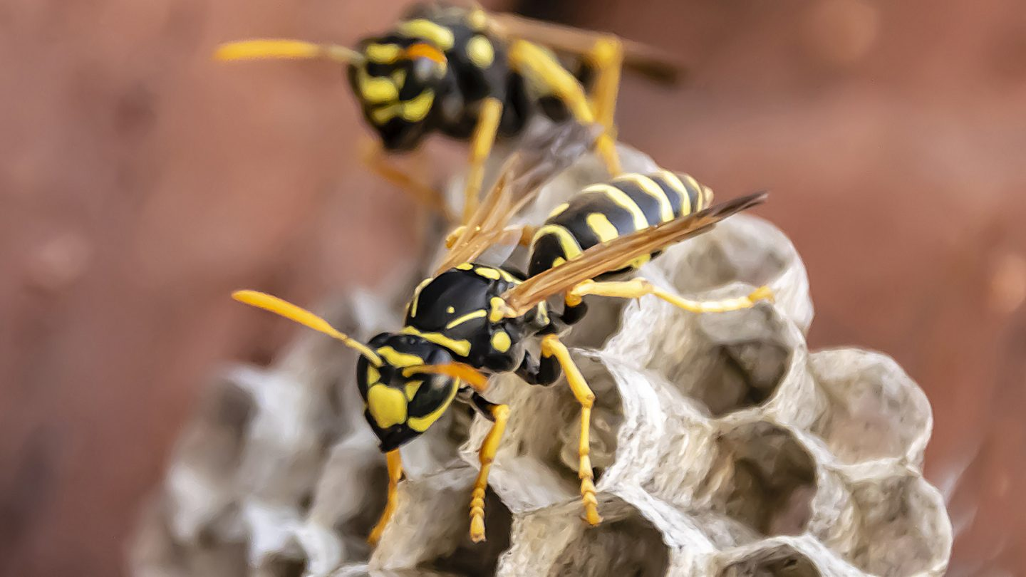 wasps are important