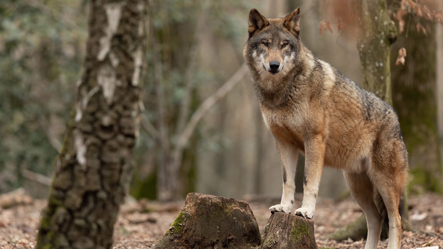 wolves are good
